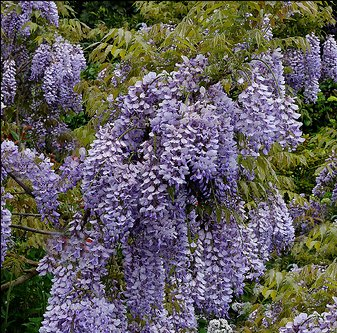 Wisteria sinensis Chinese wisteria  2//3 Litre pot climber lilac flowering plant