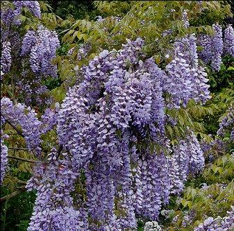 "grafted plant 1 year old Wisteria floribunda /""Burford/"""